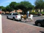 Man riding cow, Fort Worth, TX